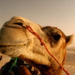 Çıngıraklı deve